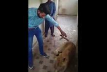 Evdeki aslanı sevmeye kalkan misafir saldırıya uğradı