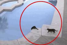 Arkadaşını gafil avlayan kedi koparttı