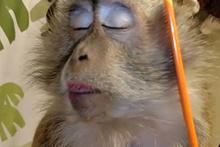 Kokoş maymun şaşkına çevirdi buna bakın!