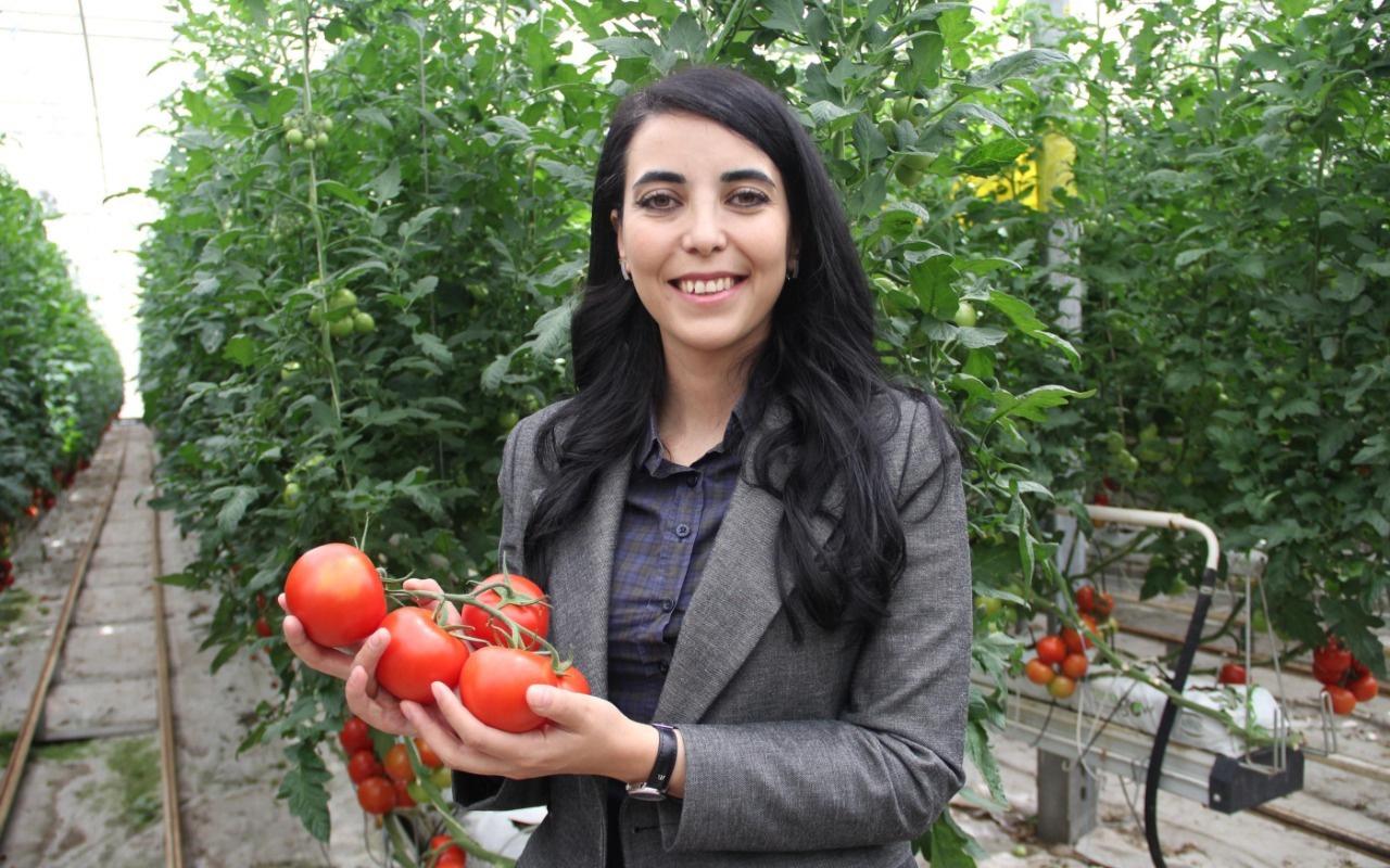 Katı Atık Depolama Tesisi'nde, yıllık 500 ton domates üretiliyor