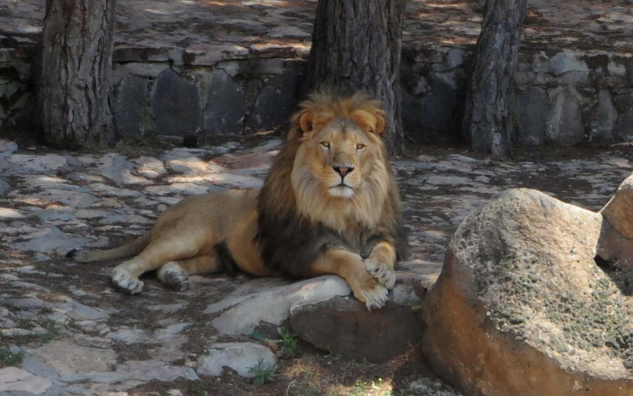 Kafesinden kaçıp bakıcısına saldırmıştı! O aslan ve bakıcısının sağlık durumu belli oldu
